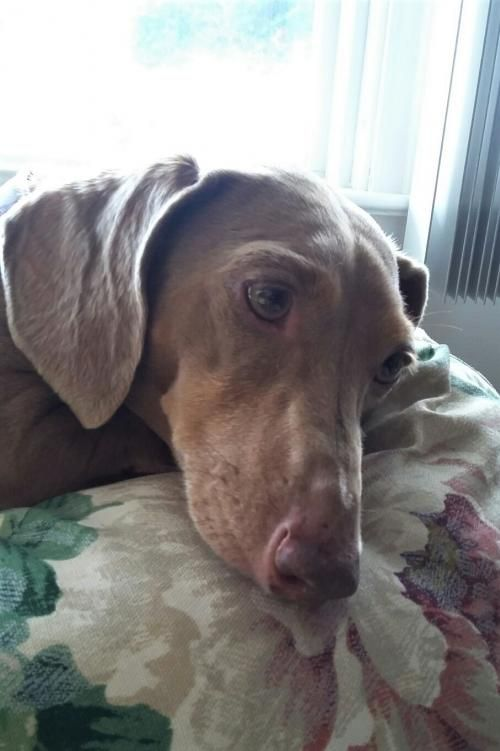 Macy In Nj Pet Dogs Dachshund Rescue Dogs
