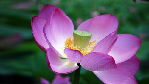 Ultra Hd Lotus Flower Pictures With Close Up Seed Head Lotus