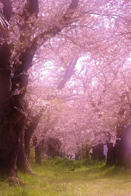 All men are poets at heart. They serve nature for bread, but her loveliness overcomes them sometimes....Avenue of cherry blossoms, Japan