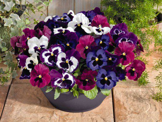 Pansies With Weee Yellow Stem Centers To Accentuate Various Shades Of Violet Purple And White Or Off White Pansies Flowers Winter Pansies Pansies
