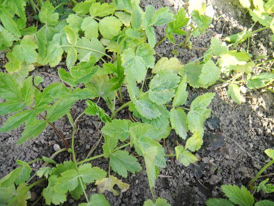 080314 Pastinaken-Kolonie, 2012 angebaut, 2013 ausgesamt