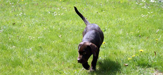 Chocolate Labrador Retriever Glücklich! http://www.meinwortreich.de/k2-2/mein-tierreich/schokolabbys/schokolabby-storys/item/158-ich-bin-ein-gluecklicher-hund