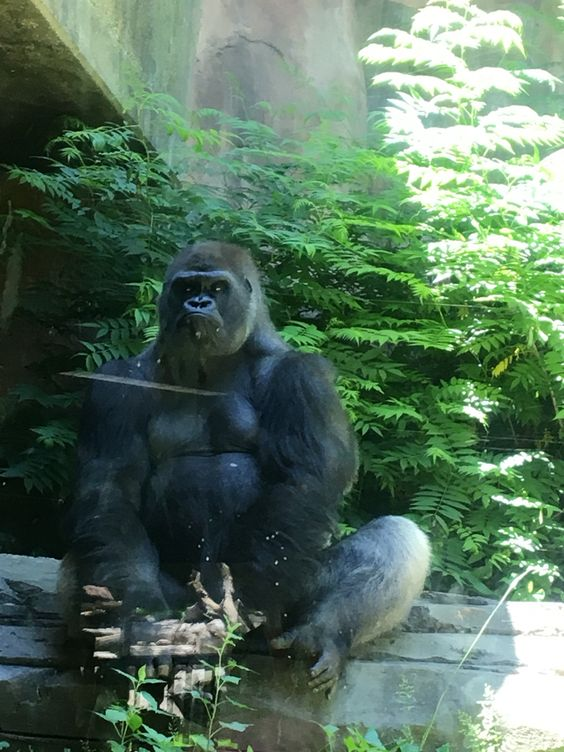 The apes at the Omaha zoo and yes this is a real live gorilla