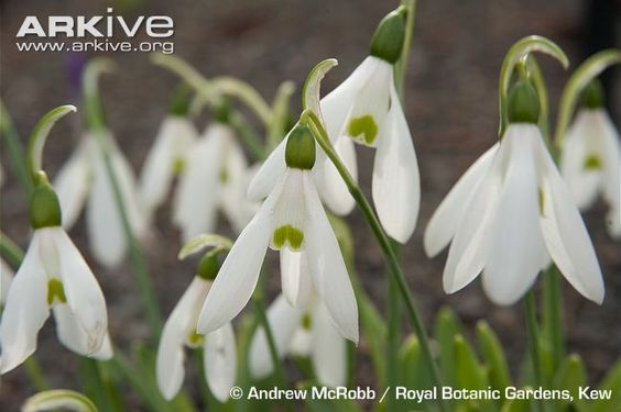 Flowers of Galanthus elwesii in cultivation at Kew