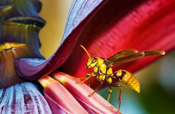 """""""A huge wasp measuring 2.5 inches in length, visiting the banana tree in my front yard"""". (Photo and comment by John Matzick, USA/2013 Sony World Photography Awards via The Atlantic)"""