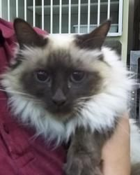 sadie is an adoptable Domestic Long Hair Cat in Gillette, WY. Sadie is a 3 year old spayed female domestic long hair siamese tan with black tips. She is a great family cat and loves to play and snugg...