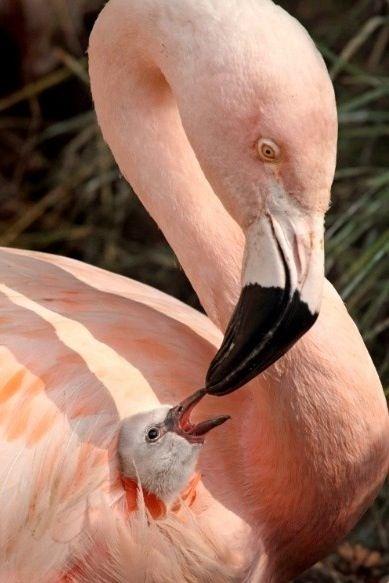 Mamá y Cría Flamingo