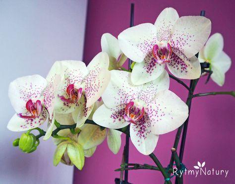 Twoj Storczyk Nie Kwitnie Dowiedz Sie Co Zrobic Aby Zakwitl Orchids Painting Orchids Flower Decorations