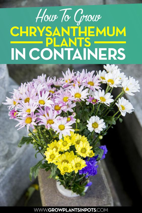 How to grow Chrysanthemum Plants in Containers
