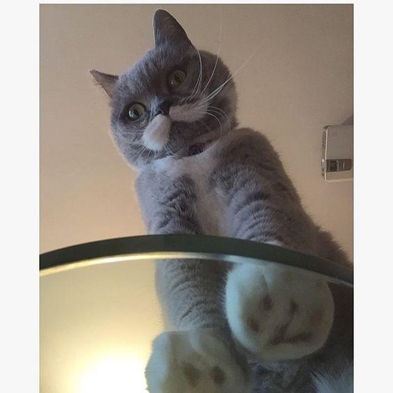 citronekoCitro the giant cat  Citronnelle, july7 2016