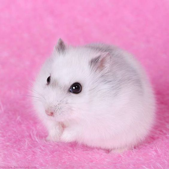 Soooo cute I had a hamster like this but my brothers snake eat her :(