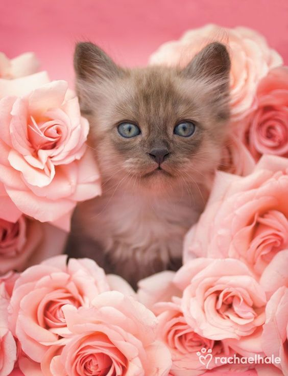 A RARE ARRANGEMENT OF LILAC POINT HIMALAYAN WITH PINK ROSES!!: