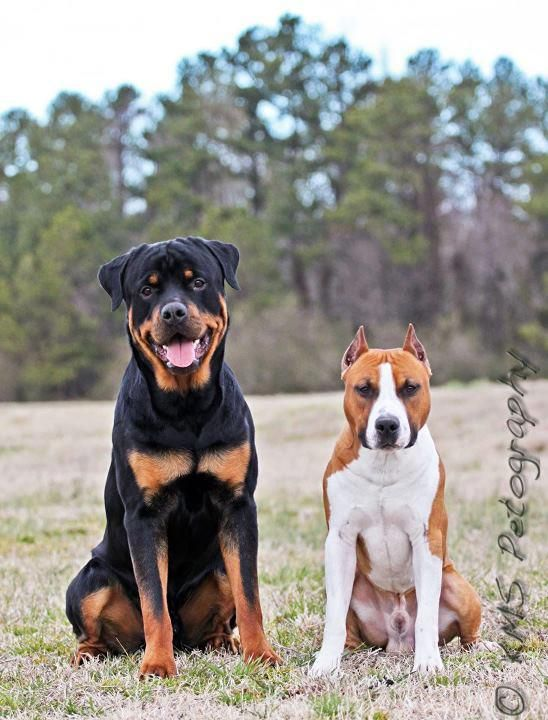 rottweiler and pitbull my future combination of pets