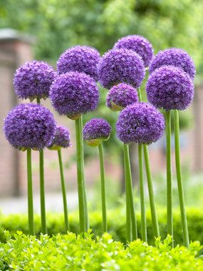 "Allium Gladiator bulbs - Height: tall 44"" (Plant 6-8"" apart.) blooms Late Spring to Early Summer. Full Sun, Soil Condition: Normal, Sandy, Acidic, Clay. Flowers the size of a softball on 3-5' leafless stems. Plant in groups of 3 or more for best effect.:"