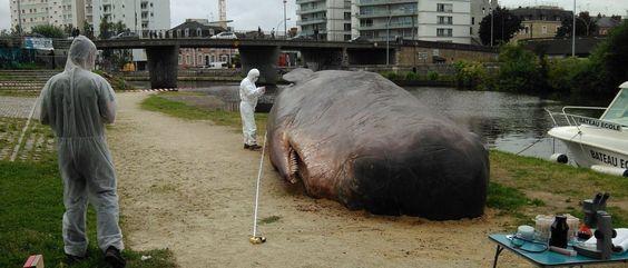 Os cientistas que examinam o animal estão com medo que a baleia exploda