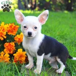 Chihuahua Puppies For Sale Chihuahua Breed Info Chihuahua Puppies Chihuahua Breeds Puppies