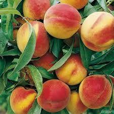 Bildergebnis für Pfirsich