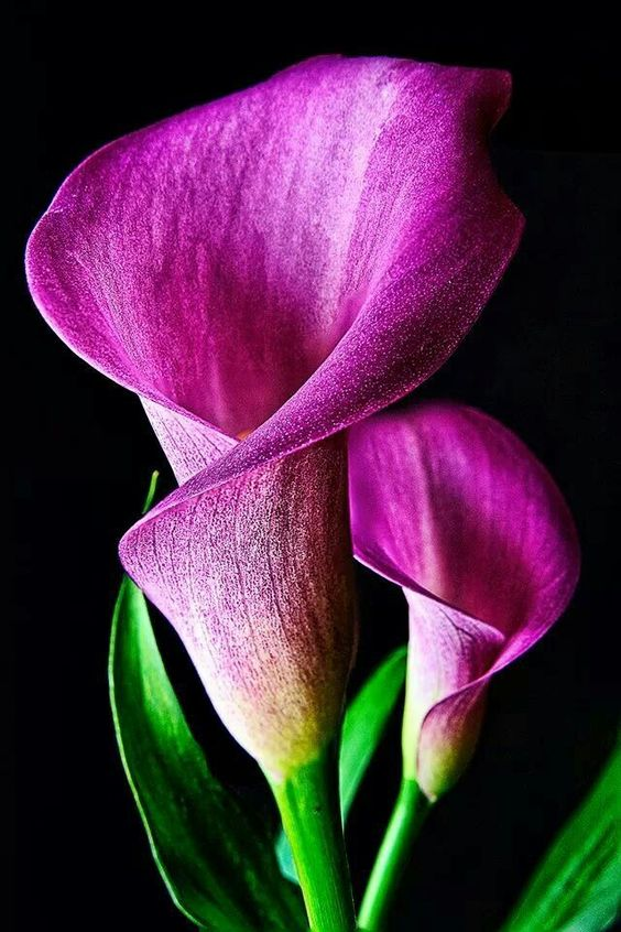 Calla Lillies - #calla #lillies