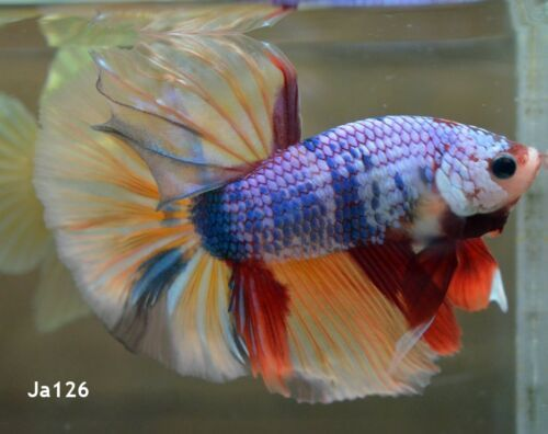 Live Fish Fancy Dragon Halfmoon Ja126 Male Live Fish Fish Betta