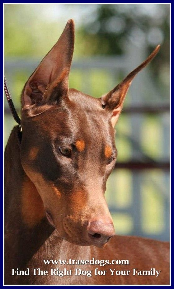 Things To Know About Your Pets Doberman Pinscher Dogs Dog Breeds