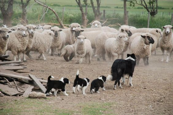 """Mum Border Collie With Her Three Puppies: Lesson Number One: """"How to be A First Class Herd Dog For Sheep!"""""""