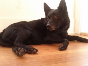 Monroc is an adoptable Schipperke Dog in San Diego, CA. Please fill out our adoption application We will make every attempt to process all applications �within 3 business days of receipt Schipperke Me...