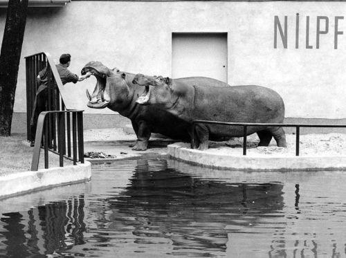 As The Allies Approached Berlin Citizens Did Their Best To Take In 2020 Mit Bildern Ausgestopftes Tier Historische Bilder Zoo