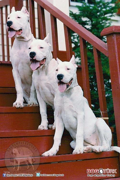 Www Facebook Com Dogoargentinoclubgreece Dog Argentino