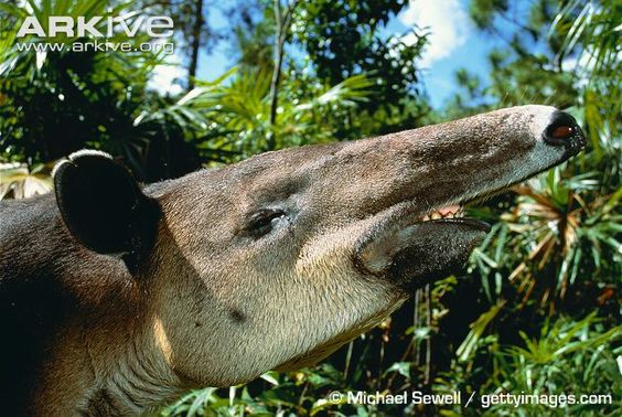Baird's tapir videos, photos and facts - Tapirus bairdii | ARKive