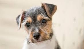 Jack Russell. More at. https://uk.pinterest.com/garylaundy/jack-russell-terriers/: