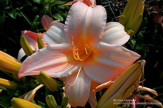 Peach Daylily (Hemerocallis cv.)