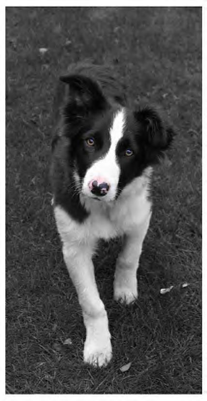 Border Collie Pup Border Collie Puppies Border Collie Puppy Training Border Collie