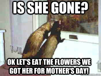pin ferret meme on - photo #38