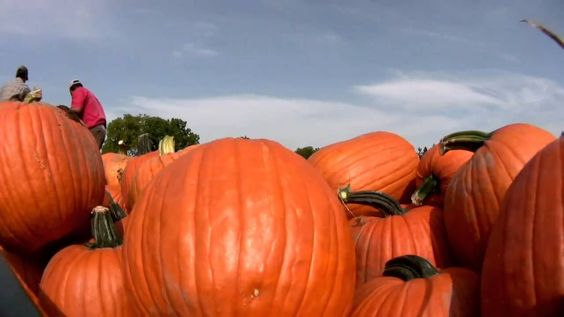 Growing Pumpkins at Whittamore's Farm