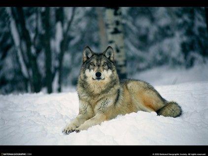 a gray wolf lies in new-fallen snow no3705