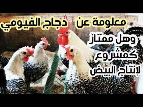 تربية الدجاج البياض سلالة الفيومي هل هي سلالة جيدة لبداية مشروع ناجح Youtube Animals Rooster