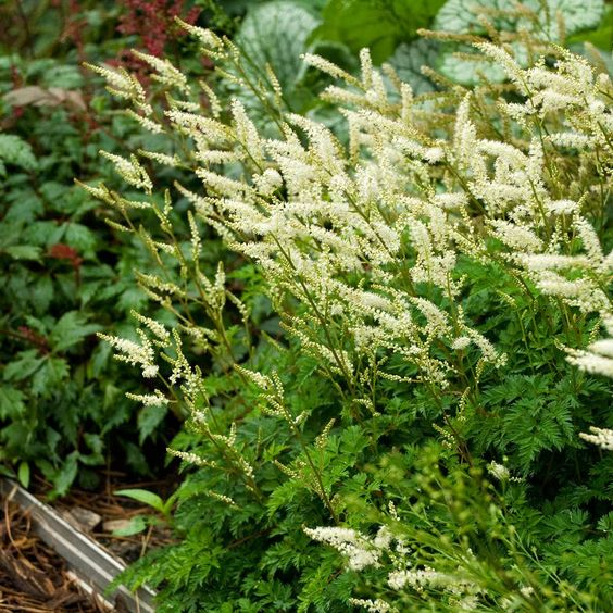 Here is a true miniature plant that combines attractive, much divided foliage with delicate sprays of pure white flowers that appear in June and persist through much of July.