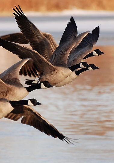 Canadian Geese - a common sight in the air and on the ground.: