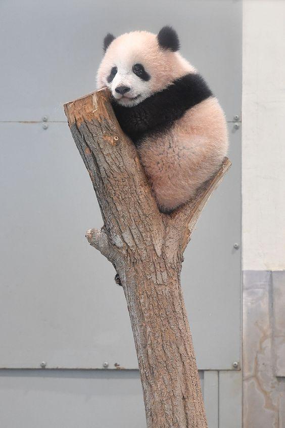 【悶絶】可愛い赤ちゃんパンダの高画質画像まとめ!※話題のシャンシャンも