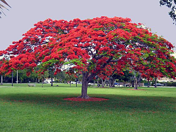 Poinciana tree - Spring bloomer May-June. Related to Tamarind + mimosa tree, tropical legume.  Deciduous. In early summer, voluminous red blooms 4-8 weeks. After that, the Delonix re-foliates its branches w/ delicate green leaves.  Cutting off sprinkler in winter & early spring prior to blooming promotes better flowering. Irrigation at these times may even stop flowers forming. Older the tree, more intense bloom. 40' tall. As matures, picks up its drooping branches to create a high…