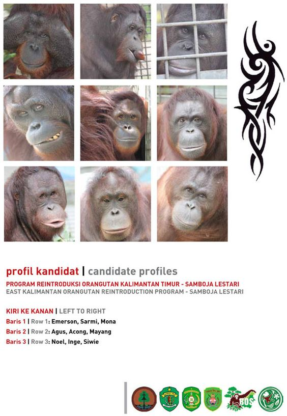 100 Orangutans Have Been Released by the BOS Foundation