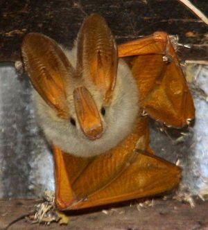 Yellow-Winged Bat.jpeg