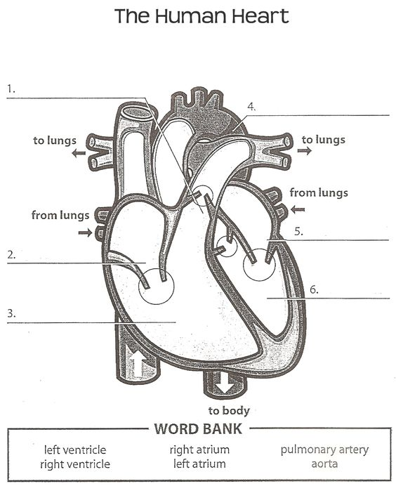 Worksheets Human Heart Worksheet human heart worksheets and on pinterest worksheet