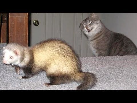 Funny Video Ferrets Or Cats You Decide Which Animals Are Funnier