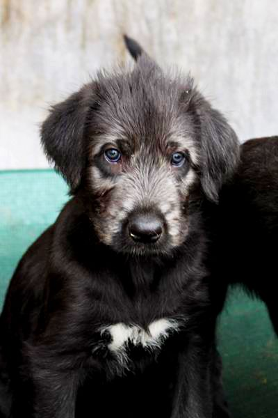 our second Irish Wolfhound Baby ♥♥♥
