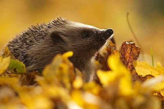 Hedgehog by Matt Binstead -- British Wildlife Photography Awards.
