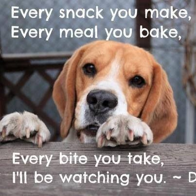 Beagle stare. Mine would always stand under the table waiting for falling crums. Great vacuum cleaners these babies!
