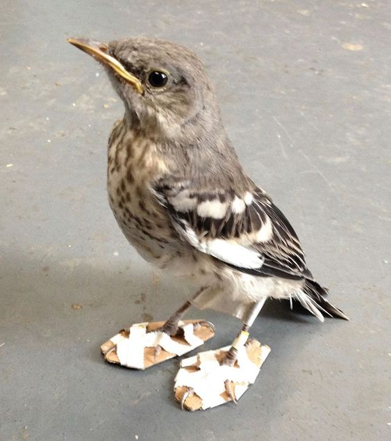 Little Injured Bird Receives Tiny 'Snowshoes' And Gets Back On Her Feet: