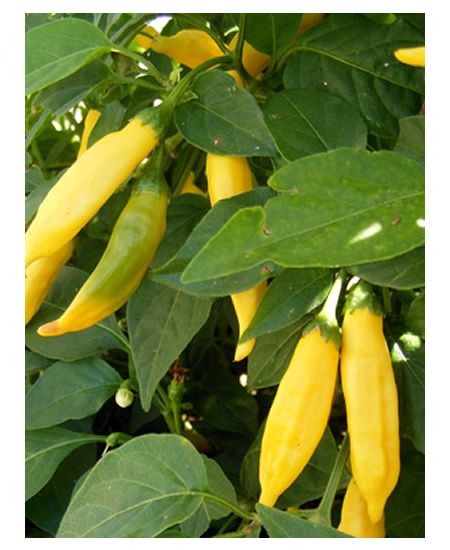 Growing aji limon peppers love this lemon taste hot Planting lemon seeds for smell