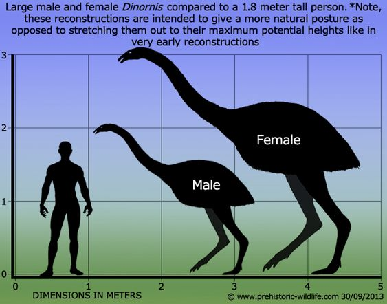 Moa size comparison to Human. | Primeval Thule RPG ...